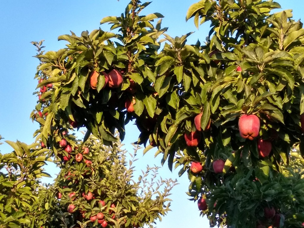 Apple trees with red apples in the sunshine in the yakima valley, one of the best weekend getaways from seattle in the spring and fall