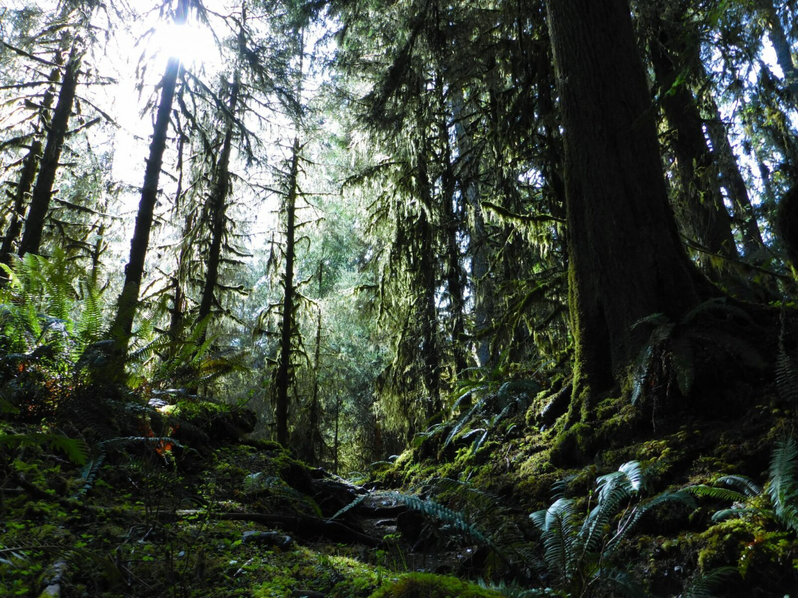 Dark green trees and heavy green undergrowth of ferns and moss in Olympic National Park, a weekend getaway from seattle