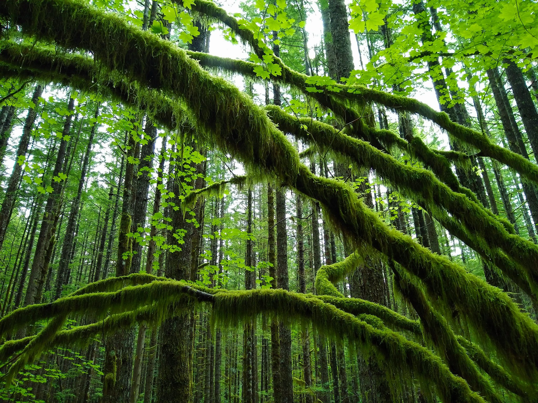 Cedar Butte Hike is a trail through a mossy green forest to a view. The trail has straight, young trees and arches of moss