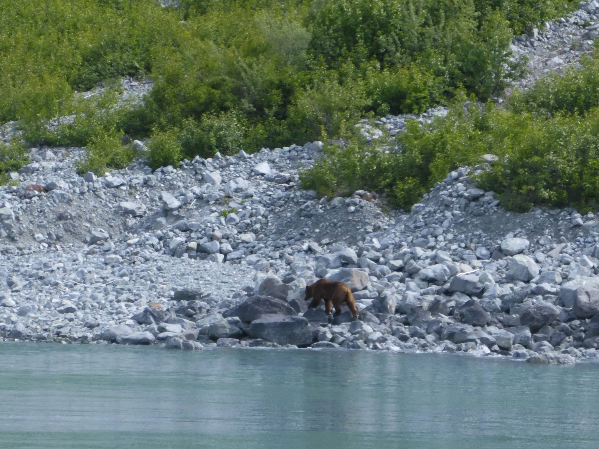 A brown bear walks the rocky shoreline next to the water of Glacier Bay. There are scrubby green shrubs above the bear and the gray rocks