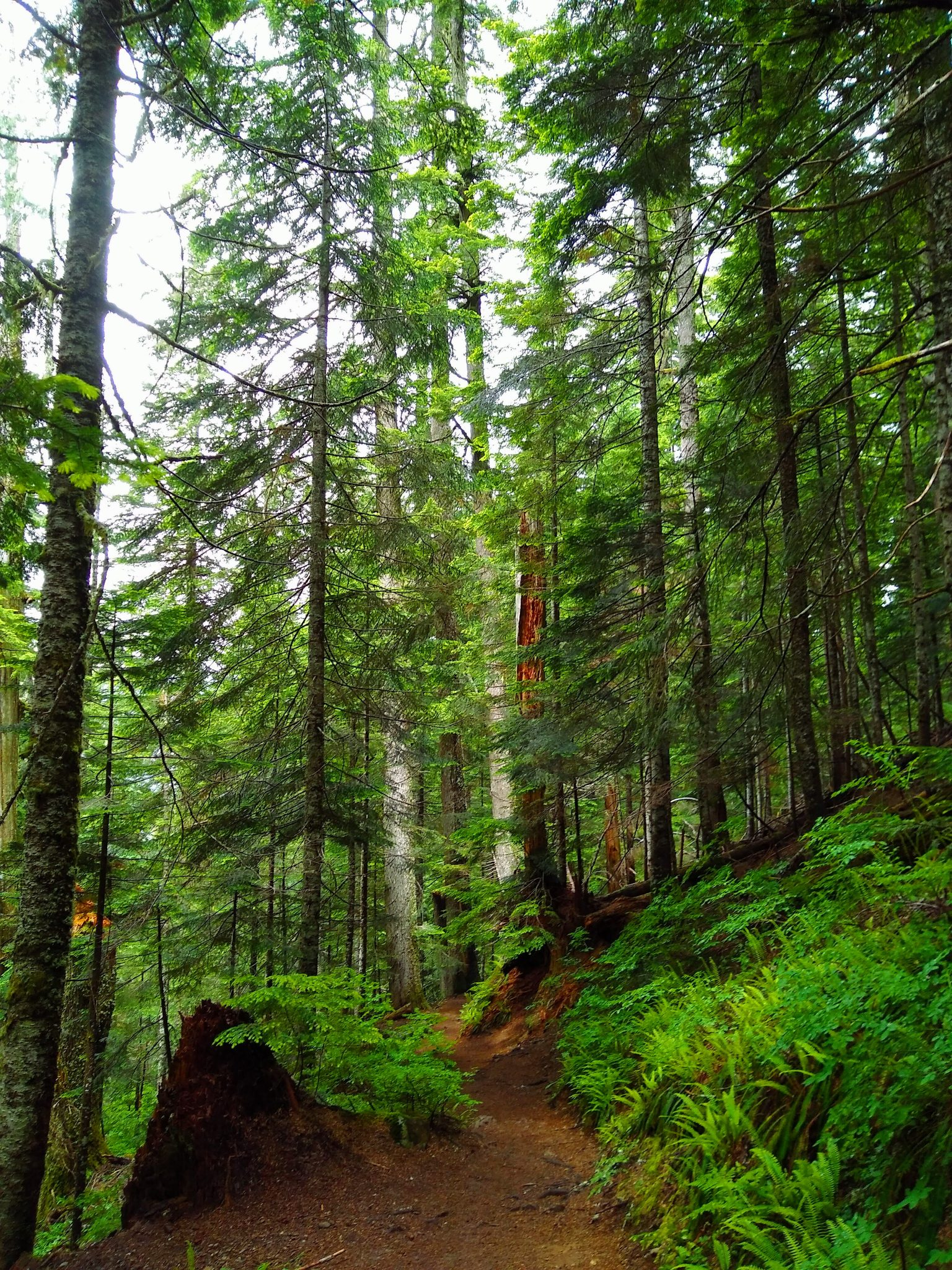 A hiking trail winds through green trees and green underbrush in the forest along the trail on the Annette Lake hike