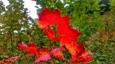 Bright red fall leaves against a background of green bushes