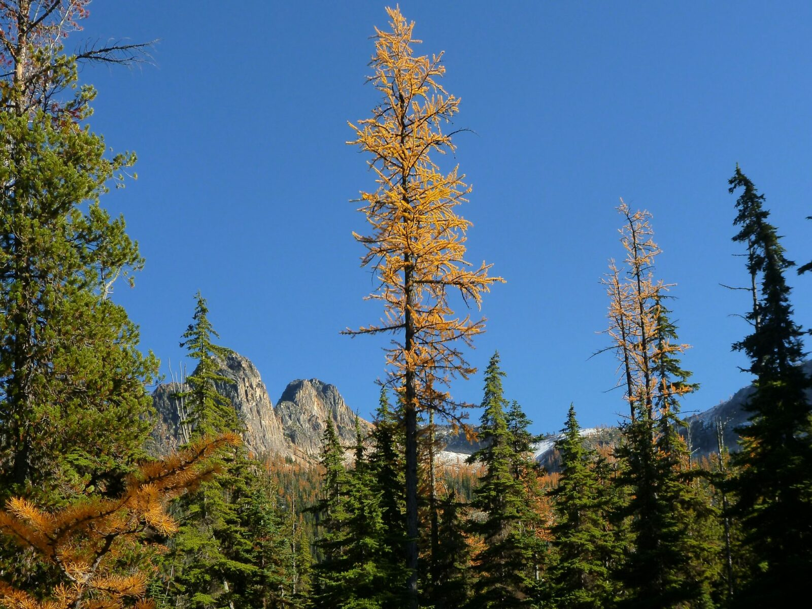 A single golden larch is surrounded by evergreen trees and more larches in the distance against the mountains