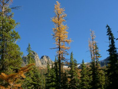A single, golden larch tree against a blue sky. It is surrounded by evergreen trees and has a few distance mountains behind it.