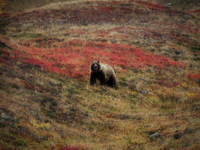 A grizzly bear on looks up from foraging for berries in Denali National Park. The bear is on a hillside with red fall colored berry bushes