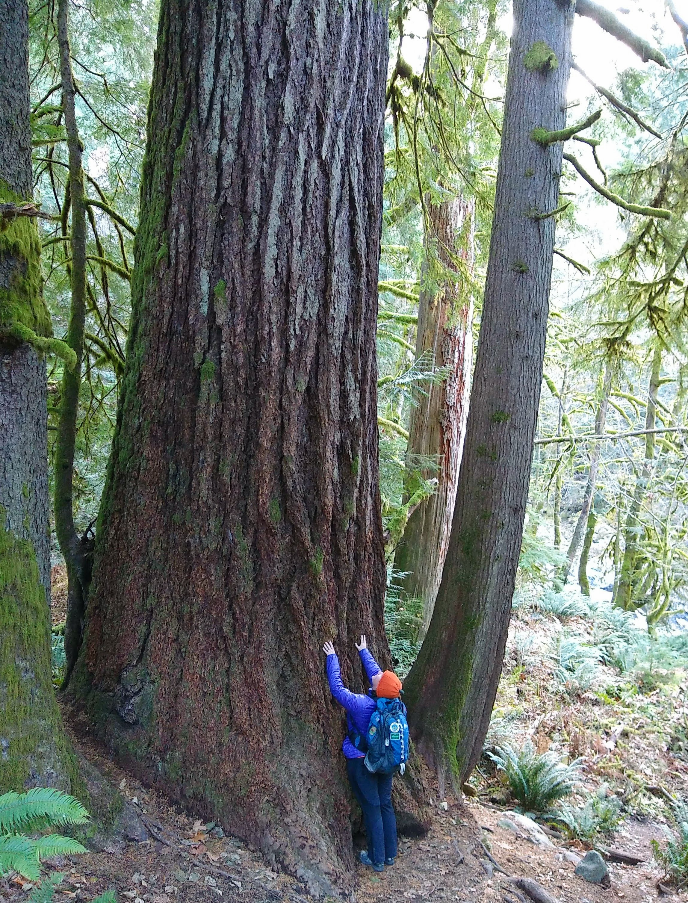 A hiker looks tiny next to an old growth Douglas Fir tree which we can only see the bottom of along a trail near Seattle