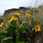 bright yellow spring wildflowers in brown and rocky cowiche canyon, one of the best spring hikes near seattle
