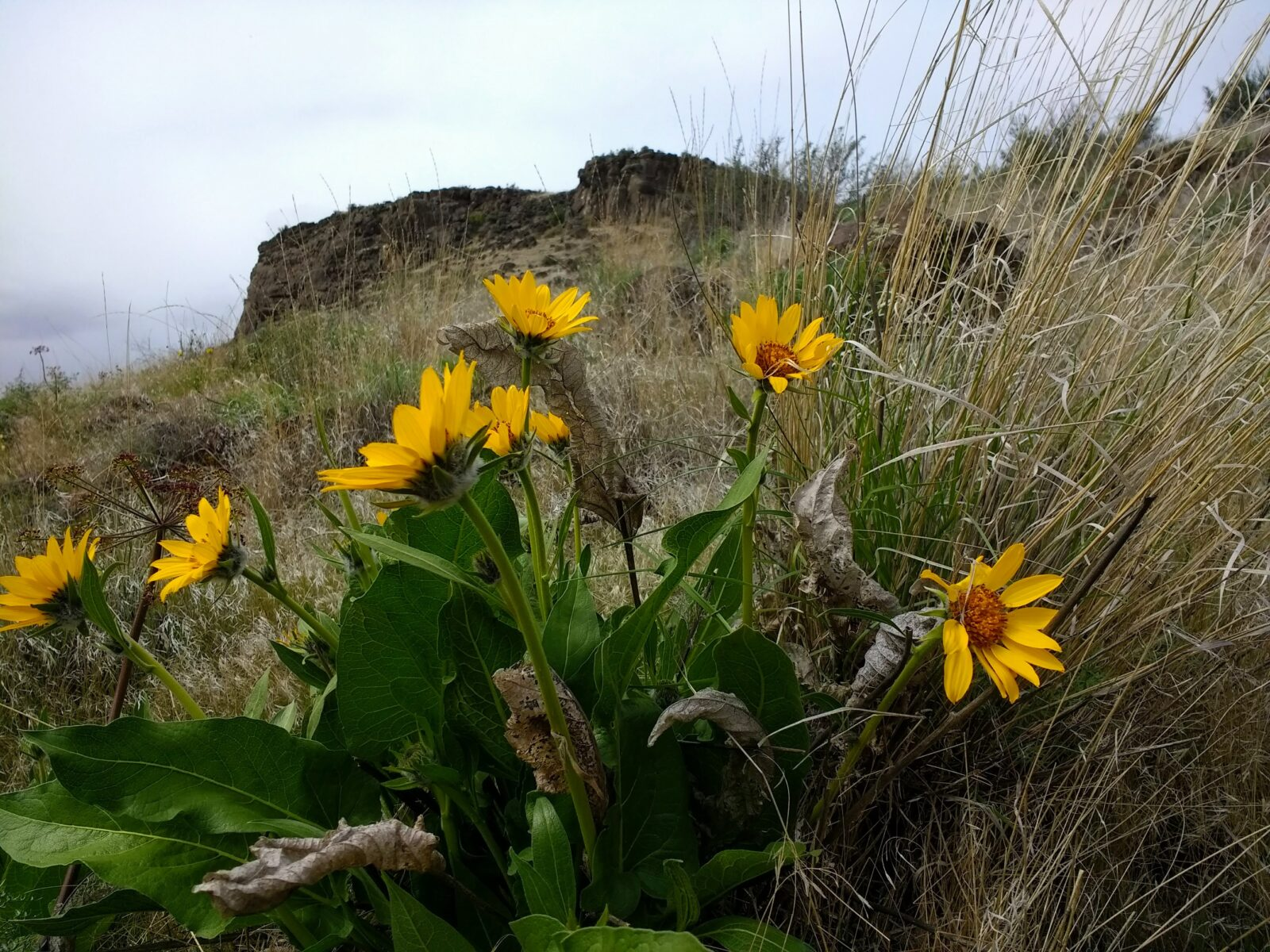 A perfect spring hike near seattle, Cowiche canyon is rocky and full of dry grass and bright yellow wildflowers