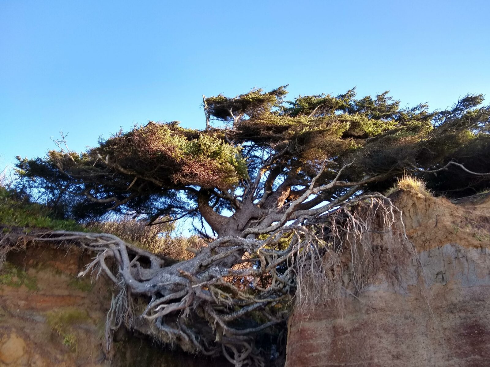 A trees roots are exposed as the cliff erodes around it at Kalaloch beach in Olympic National Park in Washington state