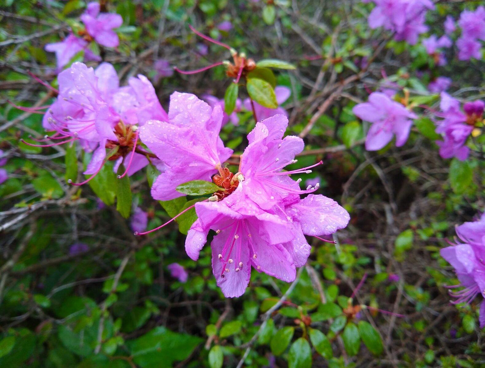close up of purple azalea flowers in Kubota Gardens