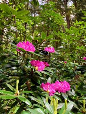 A wild rhodedendron along the Margaret's Way trail. It has large, dark green, shiny oval shaped leaves and bright purple flowers