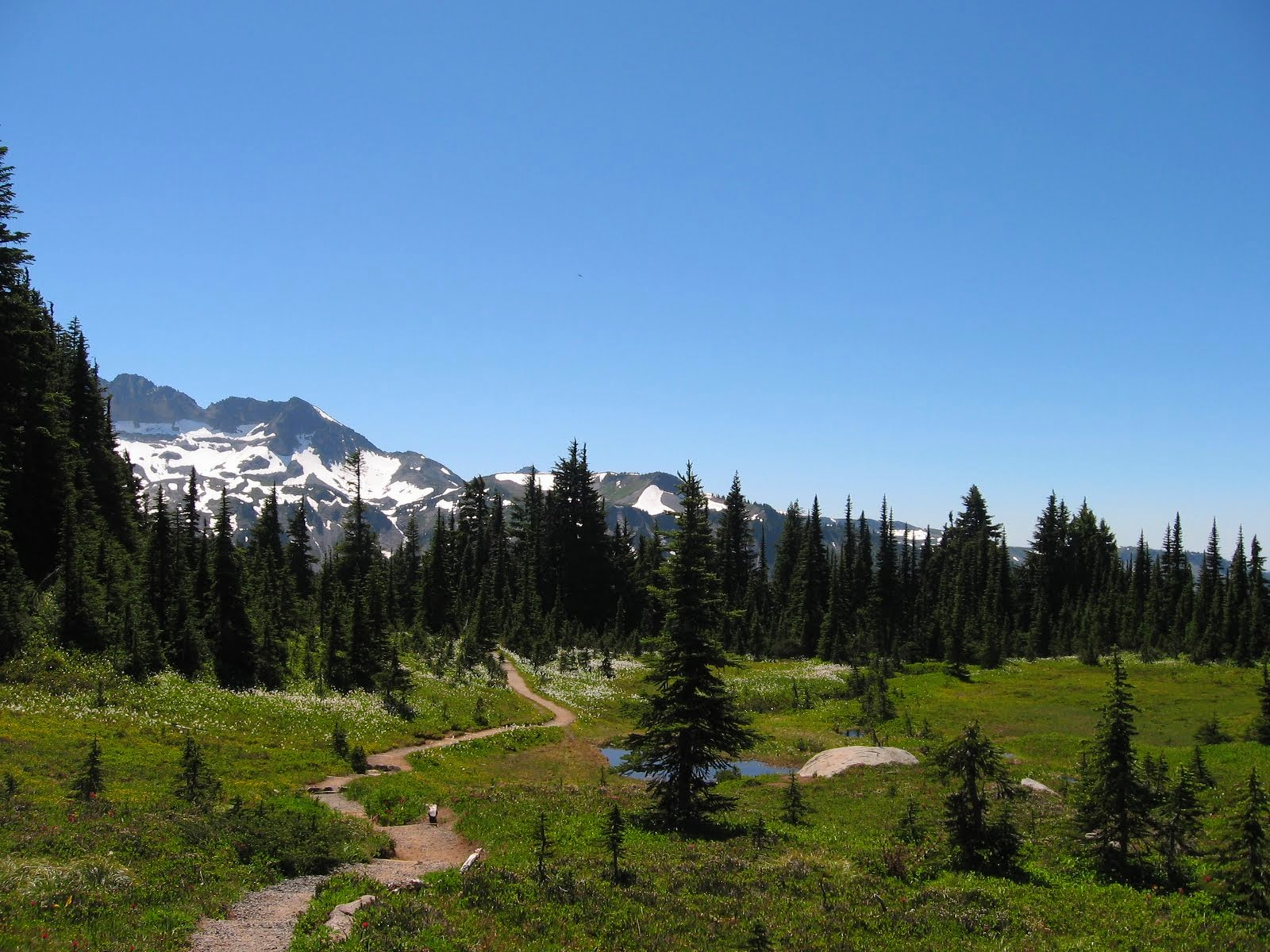 A dirt trail wides through Spray Park, an alpine meadow in Mt Rainier National Park. There are low shrubs and trees and wildflowers along the trail and evergreen trees circle the meadow. In the distance are snow capped mountains