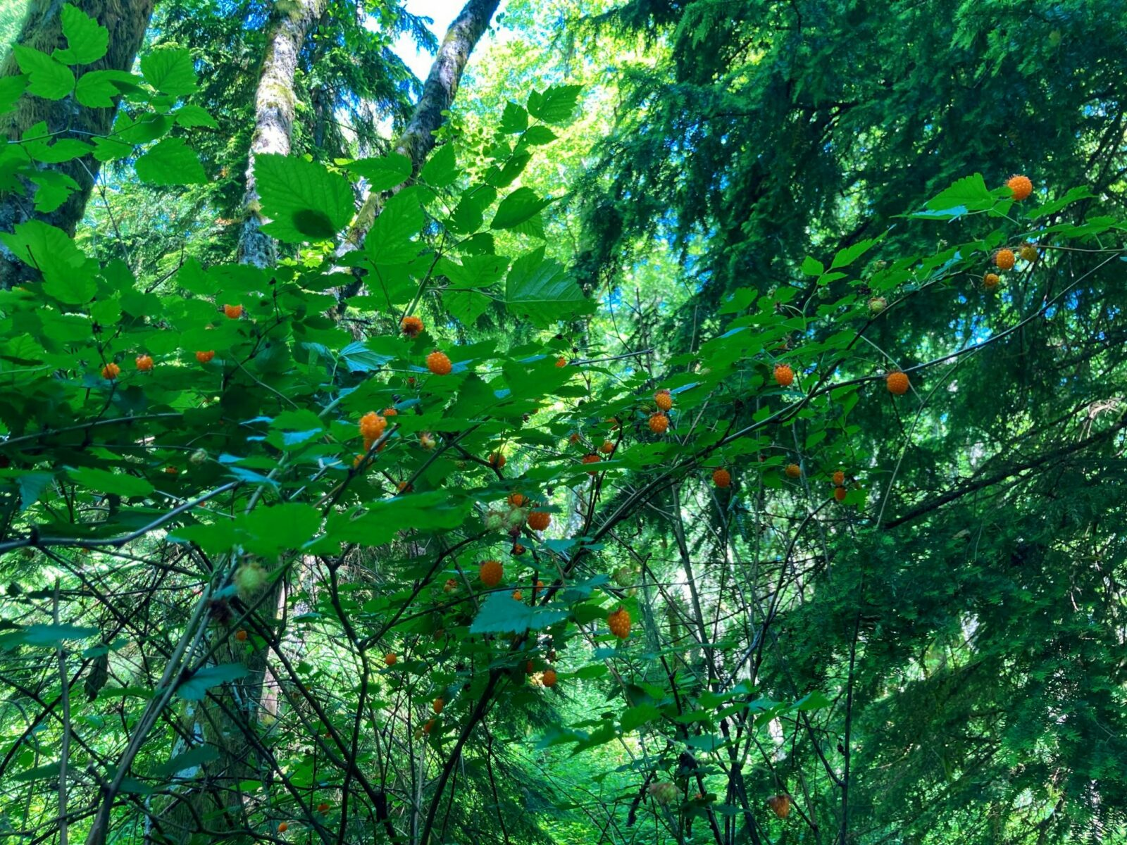 A forest canopy is covered by salmonberry bushes with bright orange berries on them