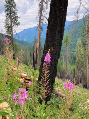 A burned tree stands in a burned forest. There are blooming fireweed in front of it. Distance mountains are in the background