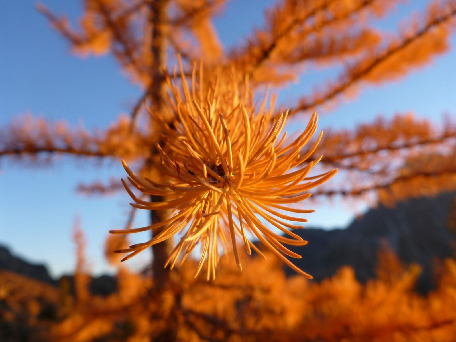 Close up of a bright golden larch branch against a blue sky