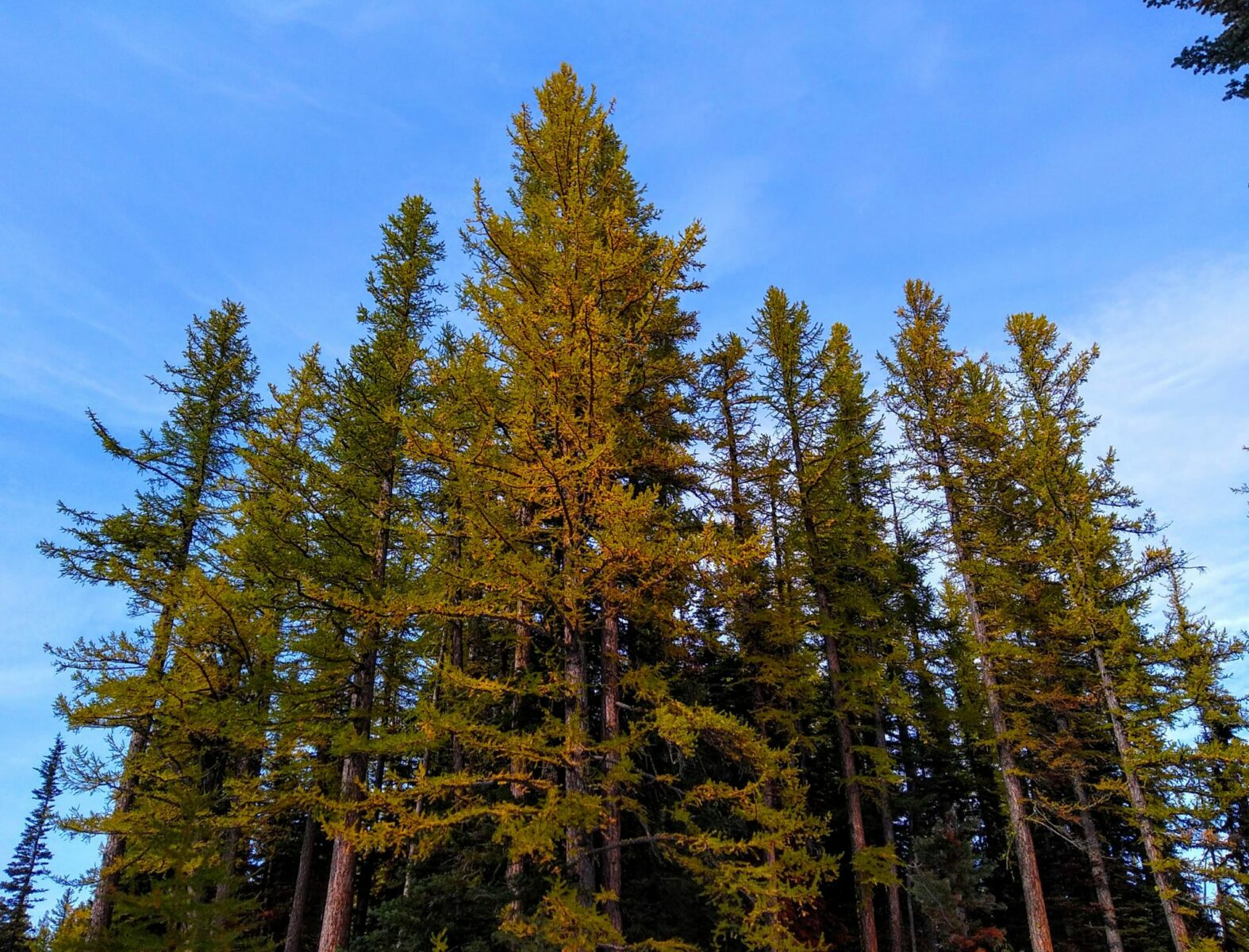 Golden larch trees against a blue sky on the Lake Clara Trail