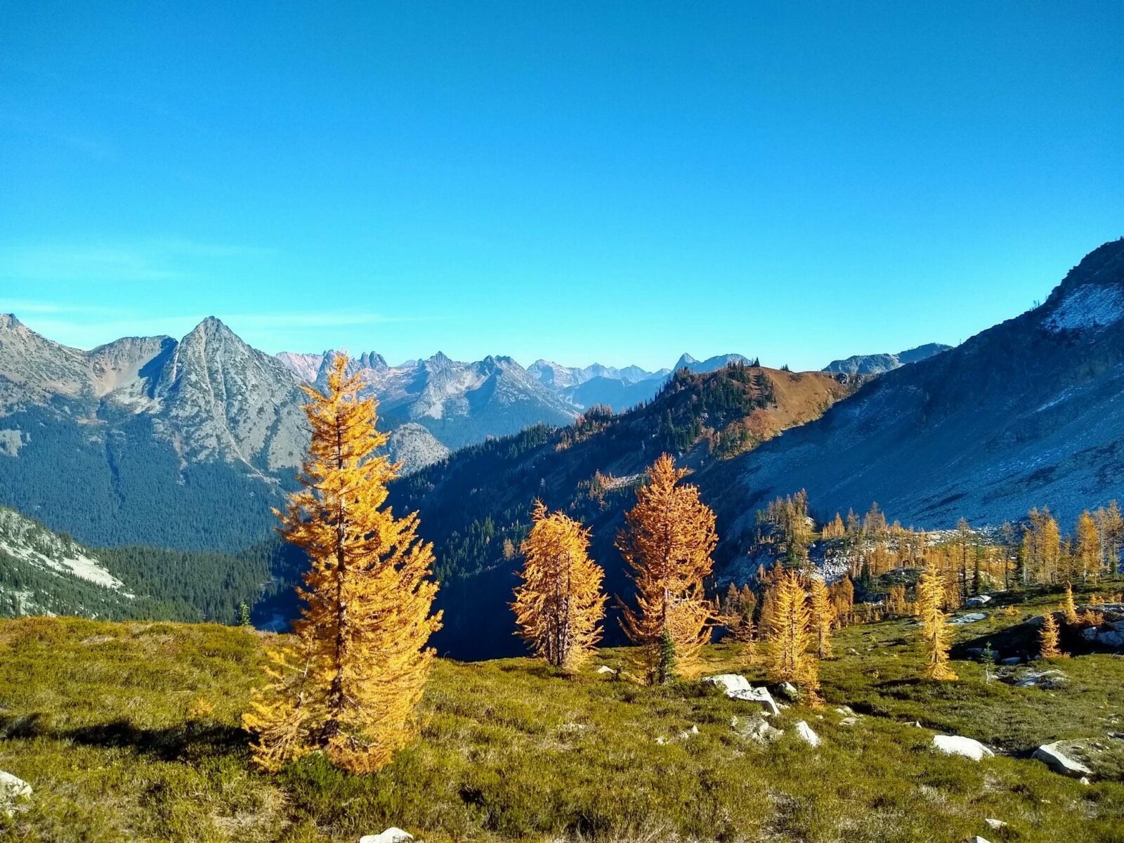 Golden larch trees are dispersed in a green meadow in the foreground on the maple pass loop. In the distance are high mountains against a blue sky.