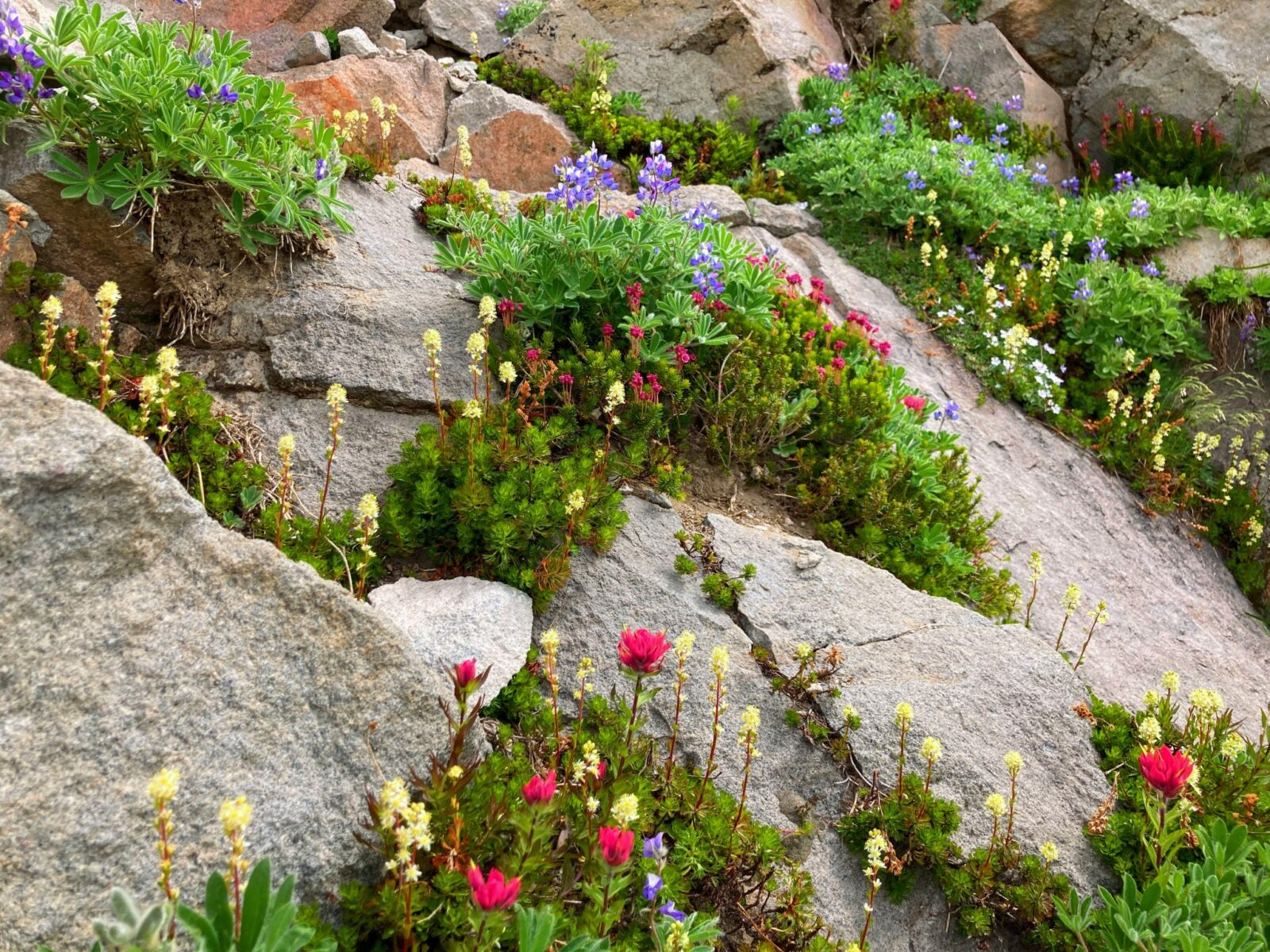 Wildflowers grow around rocks along the Skyline Trail in Mt Rainier National Park. There are magenta, white and purple flowers with green bushes around them