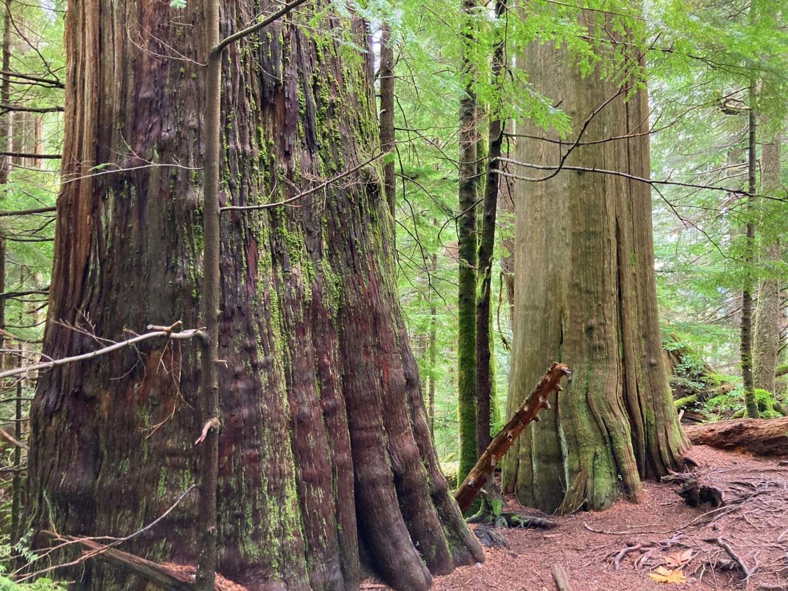 Two old growth cedar trees in the forest next to the Heather Lake trail. One tree is larger and darker colored than the other. Both have moss on their bark.
