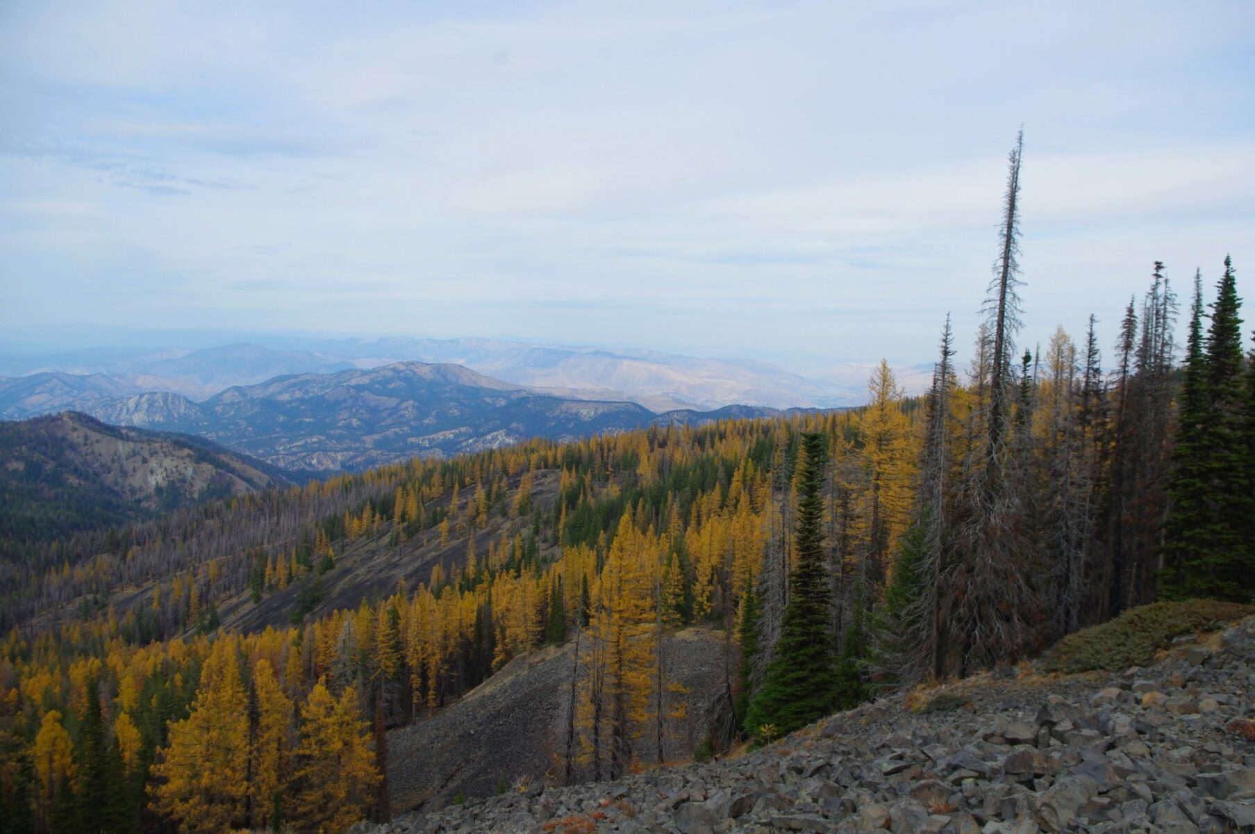Golden larches mixed with evergreen trees cover a hillside. In the distance are mountains.