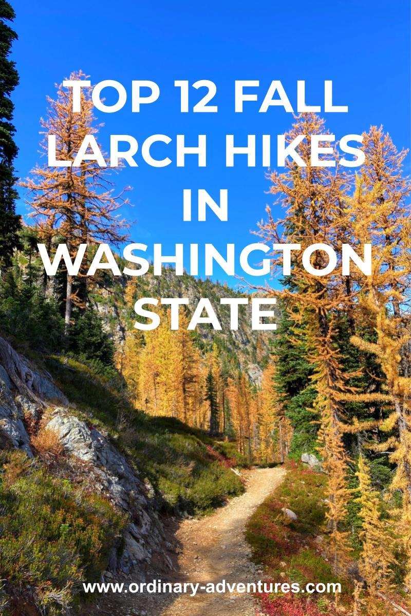 golden larch trees mixed with evergreen trees along a trail on a sunny day. Text reads: Top 12 fall larch hikes in washington state