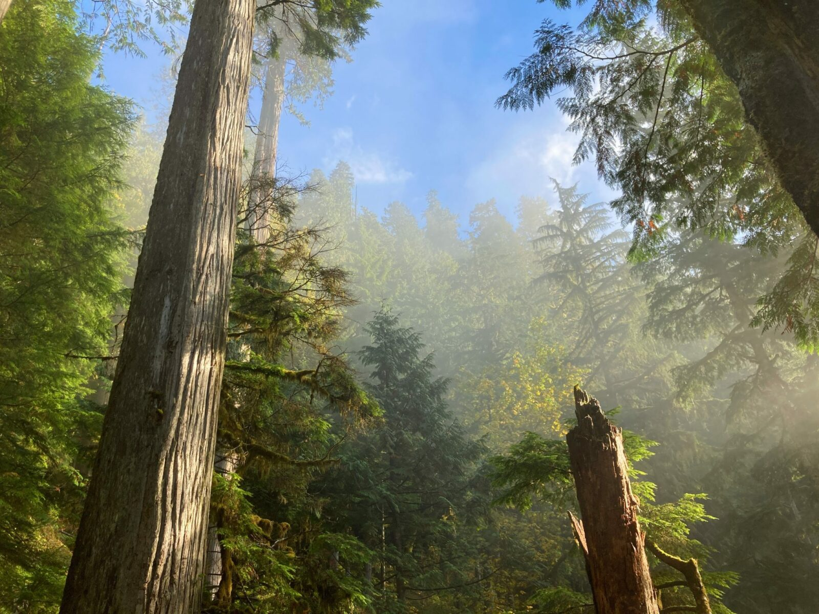 Looking up from below and two tall evergreen trees which are surrounded by many other more distant evergreen trees on the Boulder River trail. The fog is starting to burn off and blue sky is visible above the trees