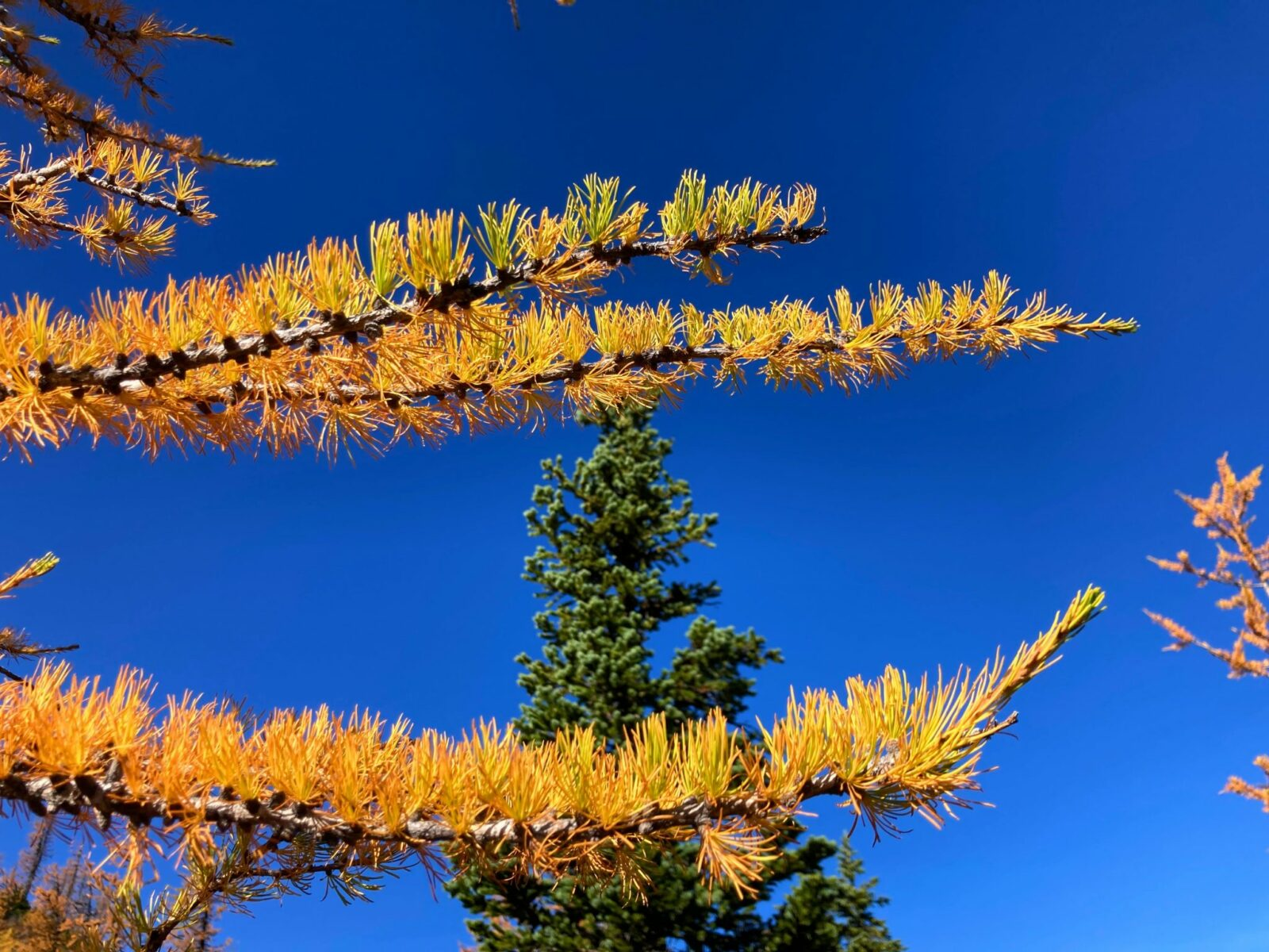 close up golden larch needles against an evergreen tree and a blue sky