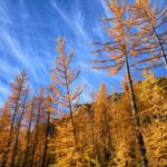 golden larch trees along the side of a trail on a sunny day on one of the best larch hikes in washington