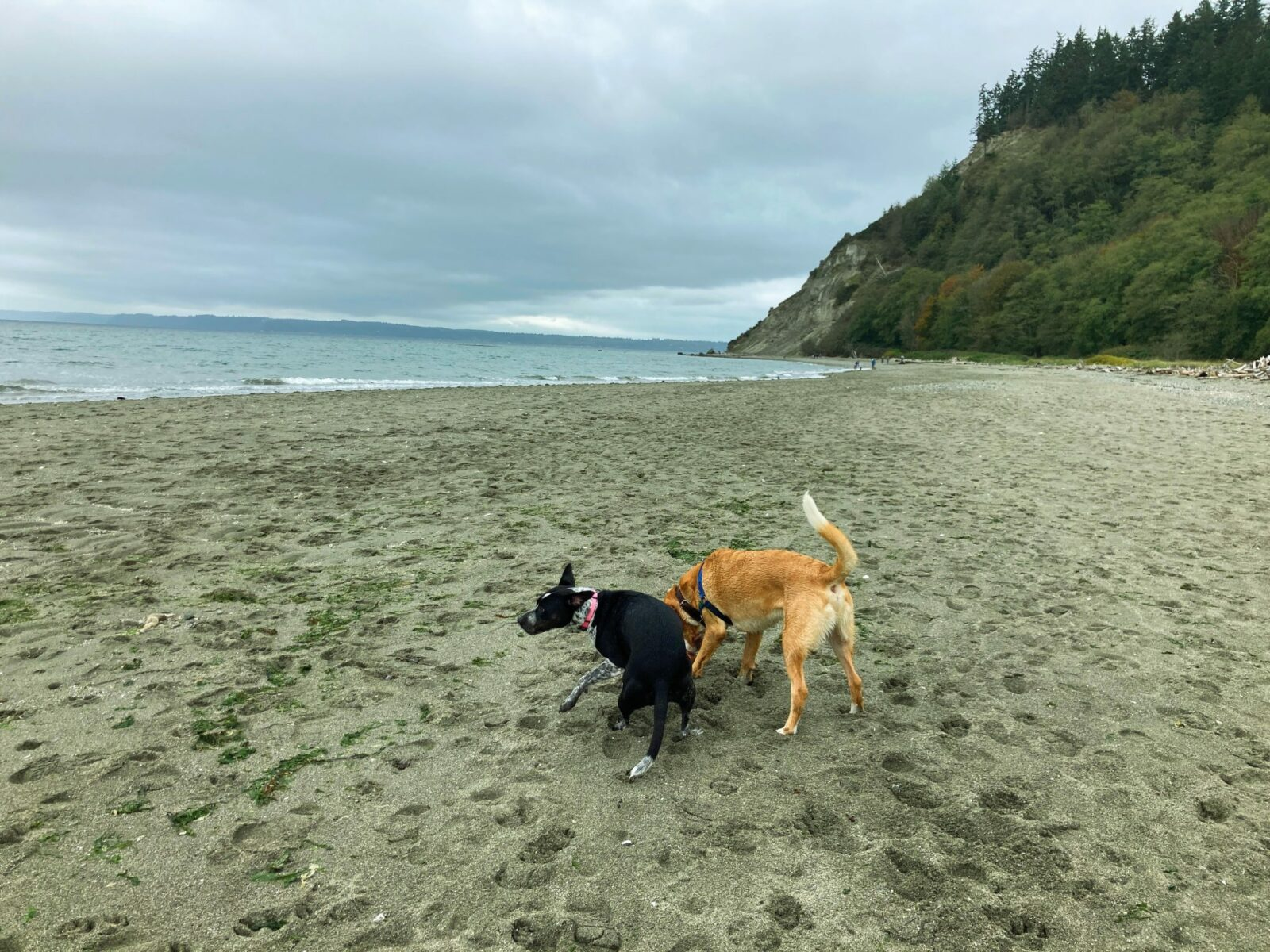 Two dogs, one black and white and one tan and white play on a gray sand beach. There is a forested hillside behind them and the water stretches away from the beach on an overcast day
