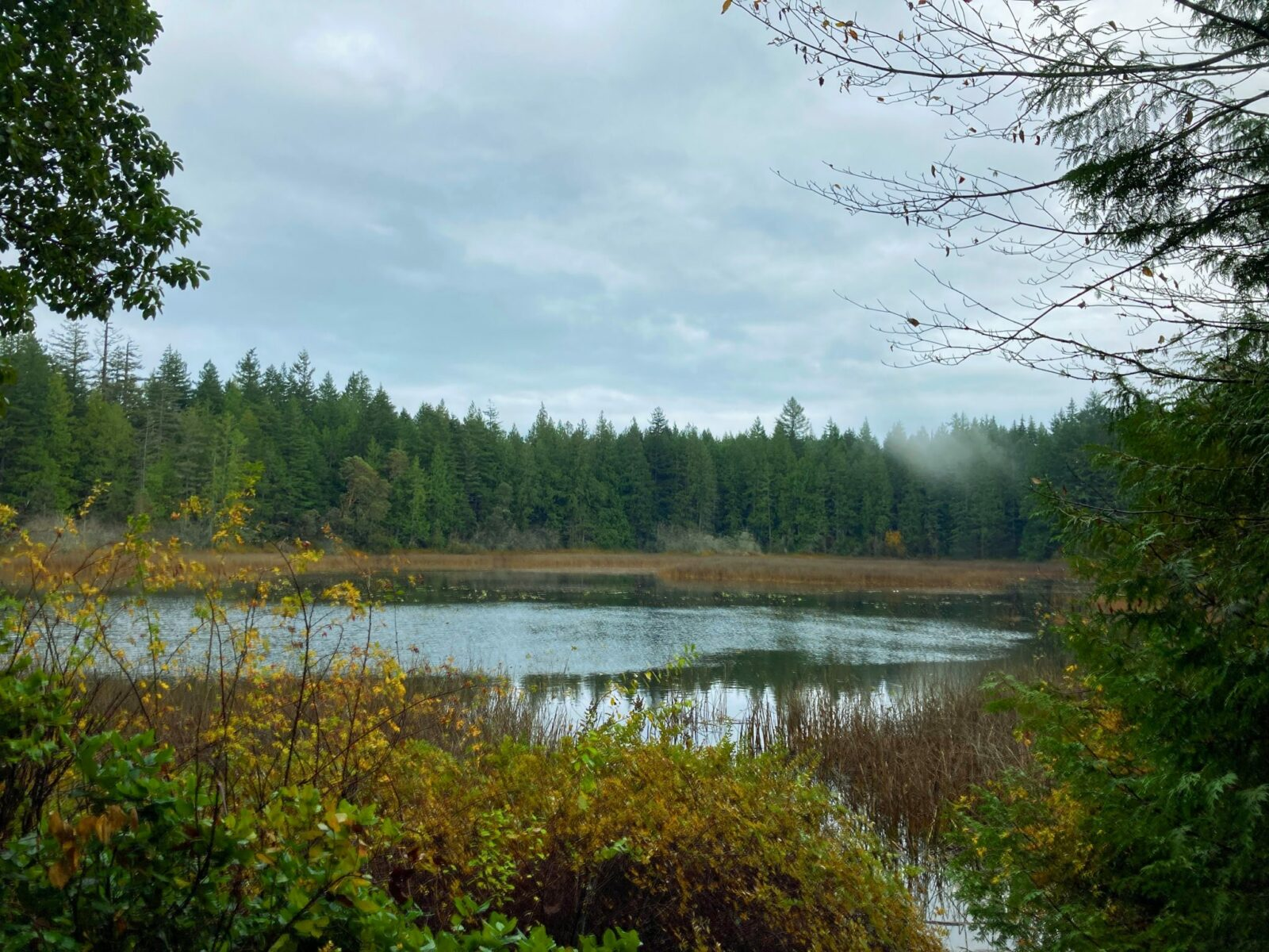A shallow lake surrounded by reeds, shrubs and evergreen trees on a cloudy winter day in Gazzam Lake Nature Preserve, a hike on bainbridge island