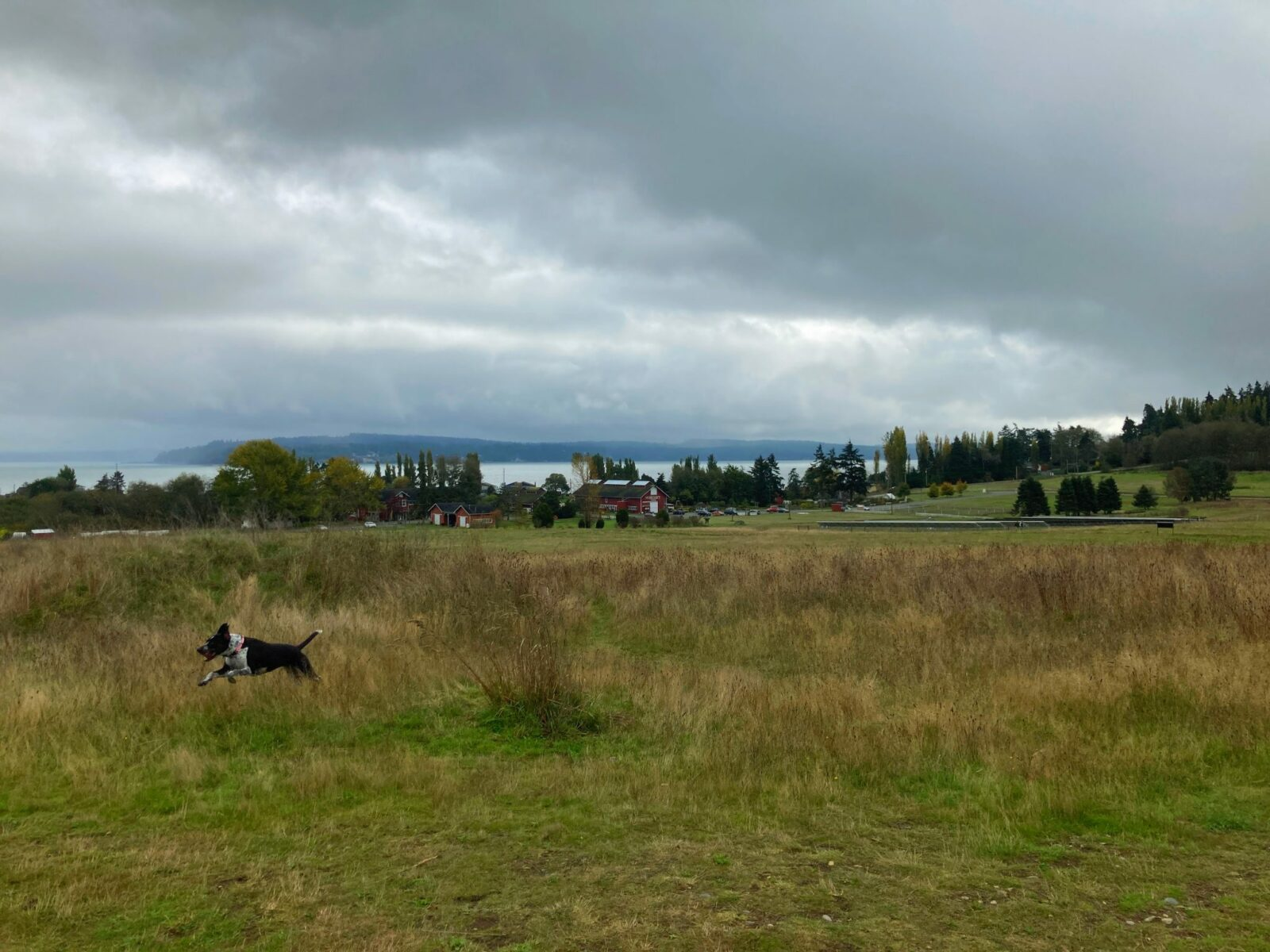 Dog friendly whidbey island hikes include greenbank farm. A black and white dog runs with all it's paws off the ground through a grassy field. In the distance there are farm buildings, forest, water and a land across the water