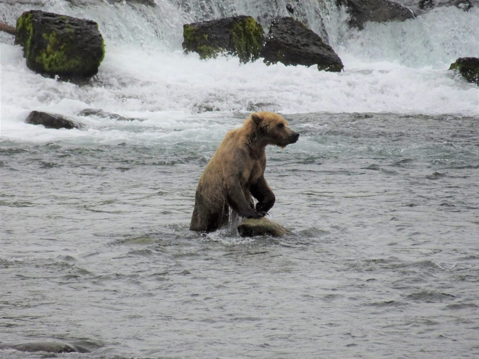 A brown bear standing in the rapids of a river in Katmai National Park in Alaska