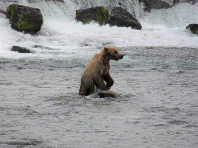 A bear standing upright in a river next to a waterfall