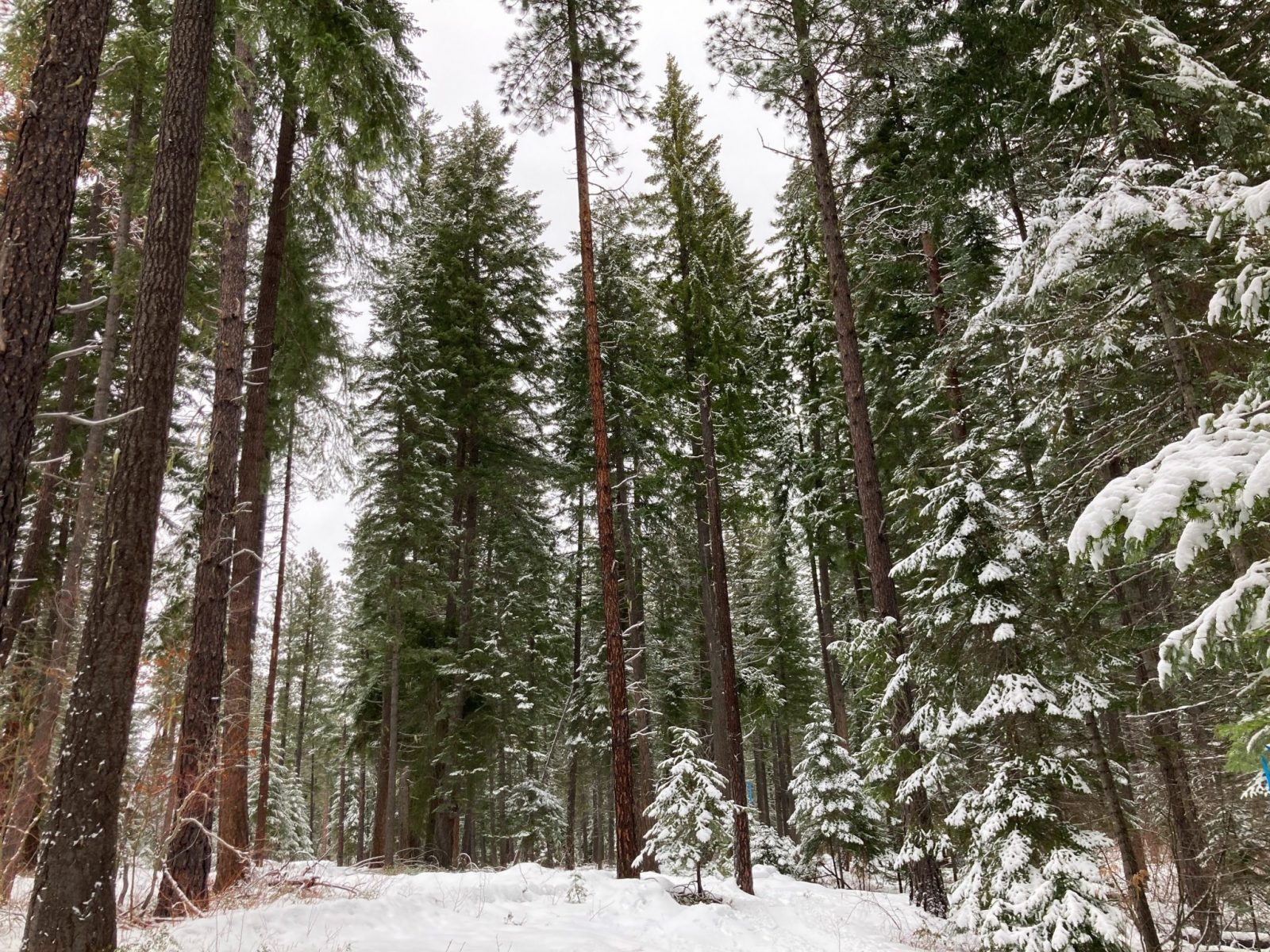 A snowy forest of tall pine trees