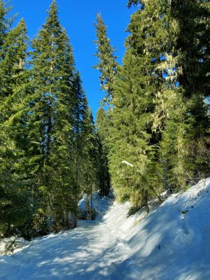 A groomed winter trail in the salmon la sac sno park going slightly uphill through the forest on a sunny day