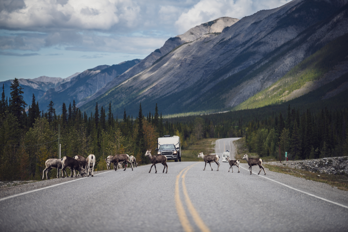 a small herd of wild sheep crossing the alaska highway while vehicles wait for them to cross. There are forest and mountains around teh highway